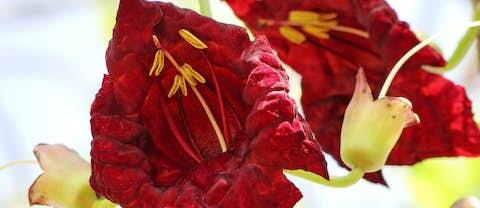 Kigelia Africana Blüte für Kigafirm Wirkstoff