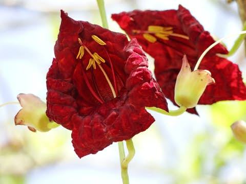 Kigelia Africana Blossom for Kigarfirm active ingredient