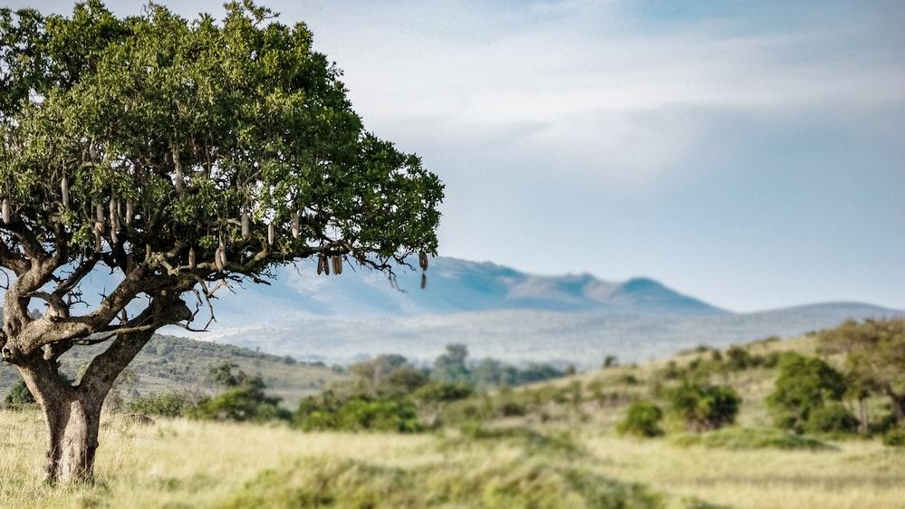 Kigelia Africana Tree