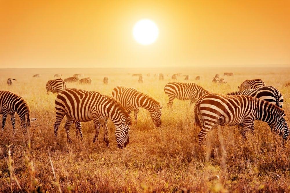 Zebras herd
